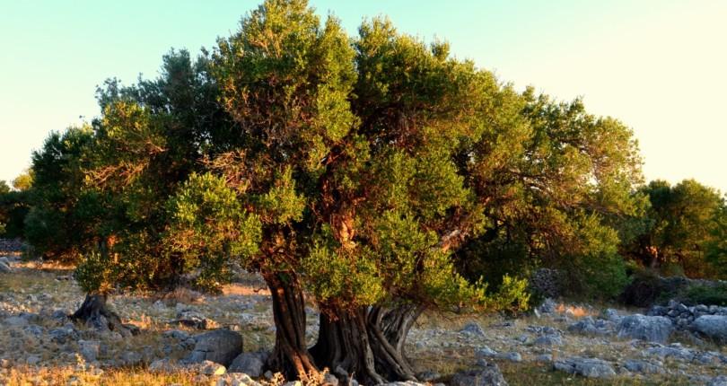 Oljke, olive, oljčno olje