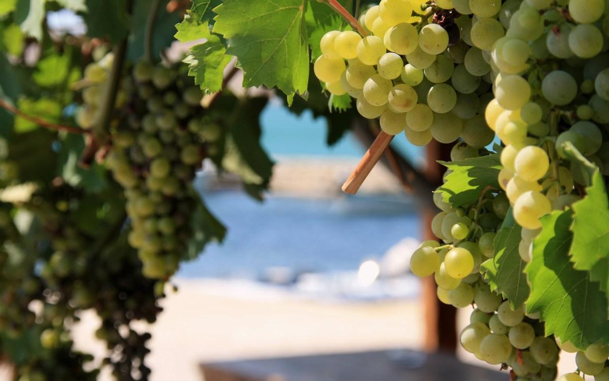 Trta, grozdje, vino