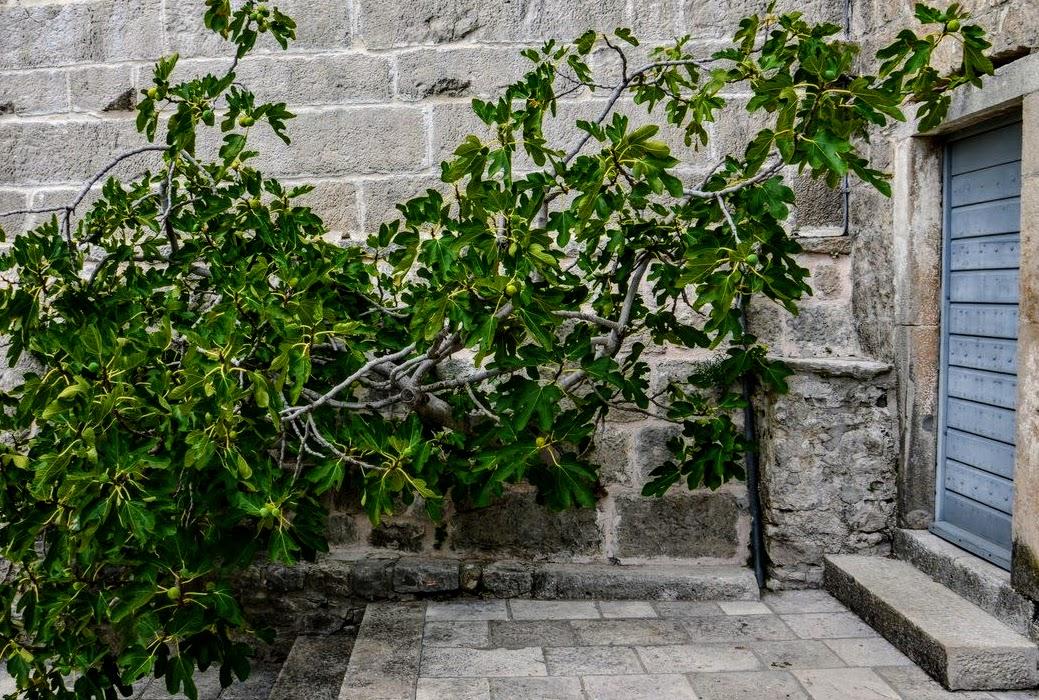 Drevo raste iz kamna