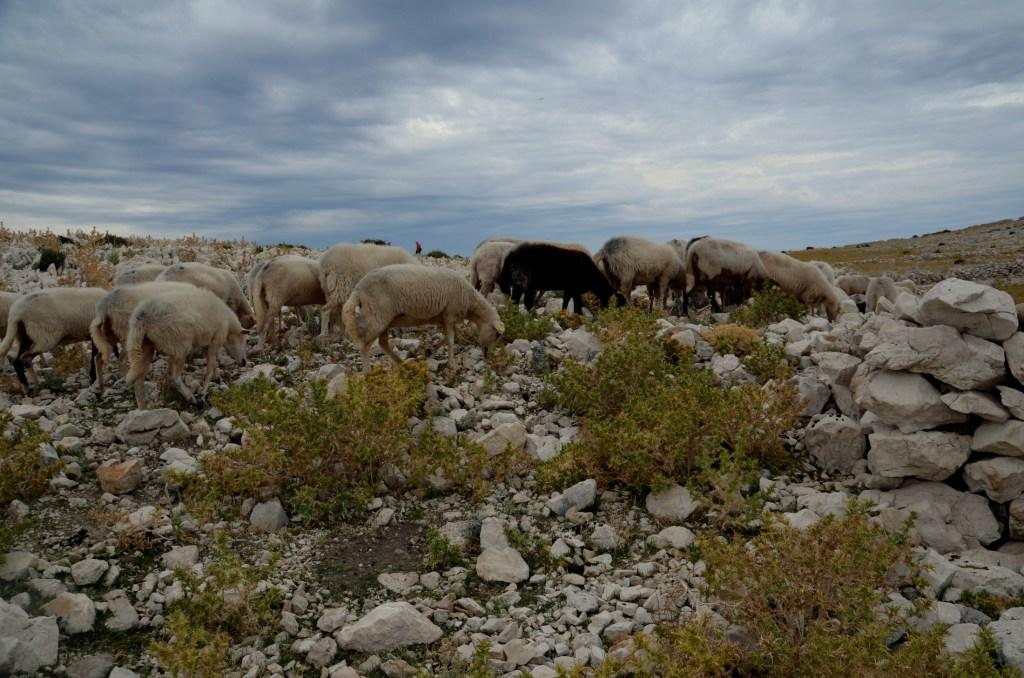 Paške ovce zadovoljno mulijo z morskim pršcem poprhano rastje.