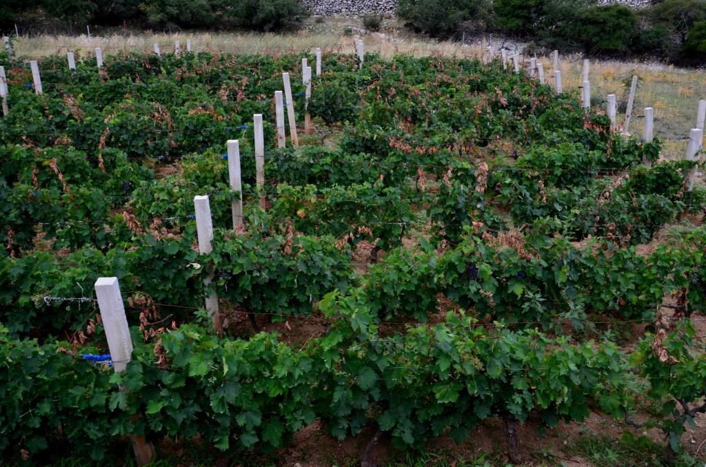 Obdelan vinograd.