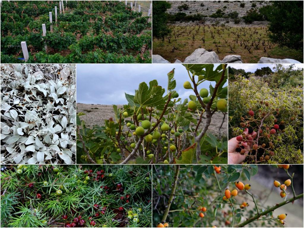 Tudi na kamnu zrastejo pridelki: grozdje, smokve, robidnice, šipek, zelišča.