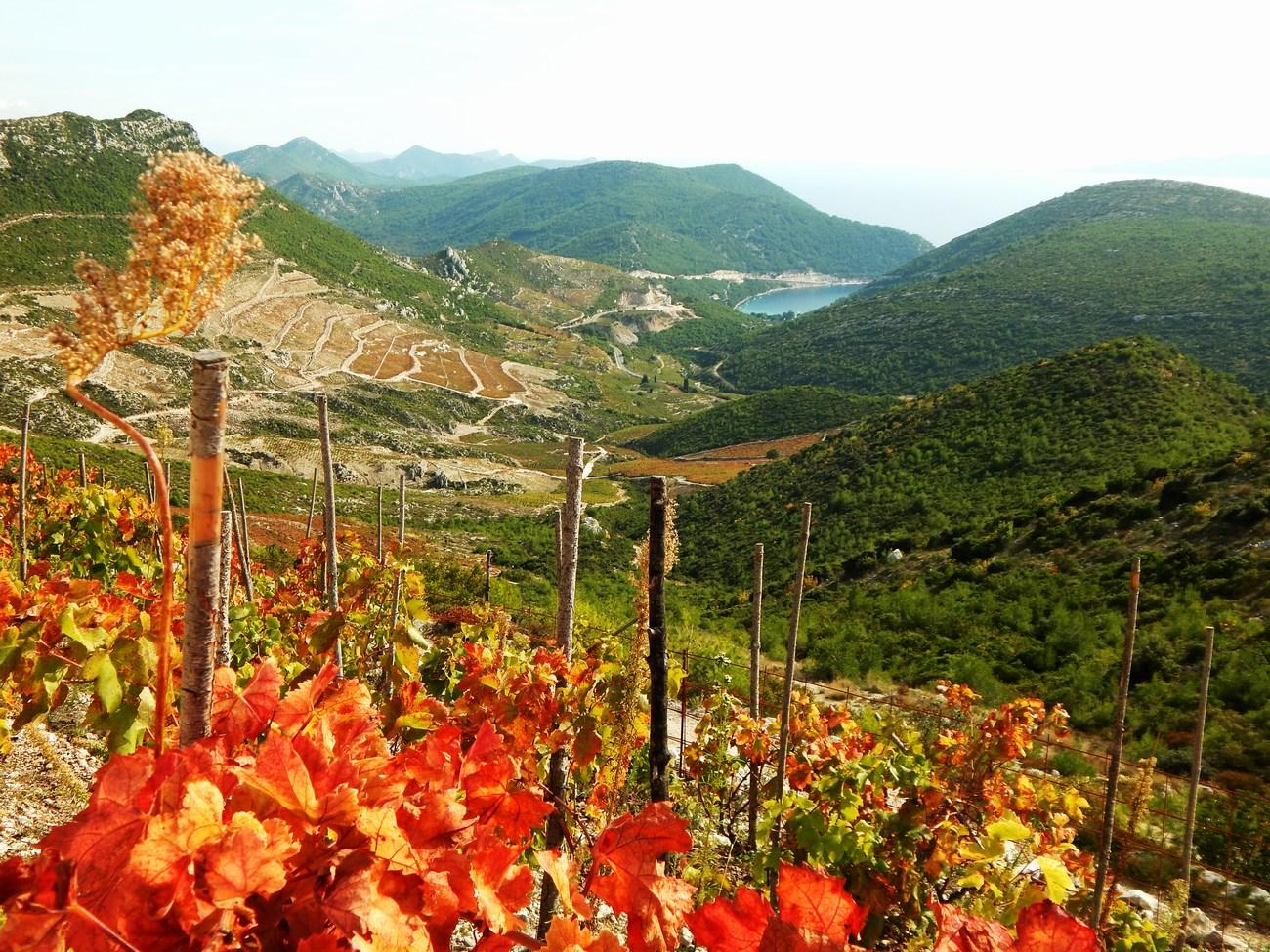vinograd_morje