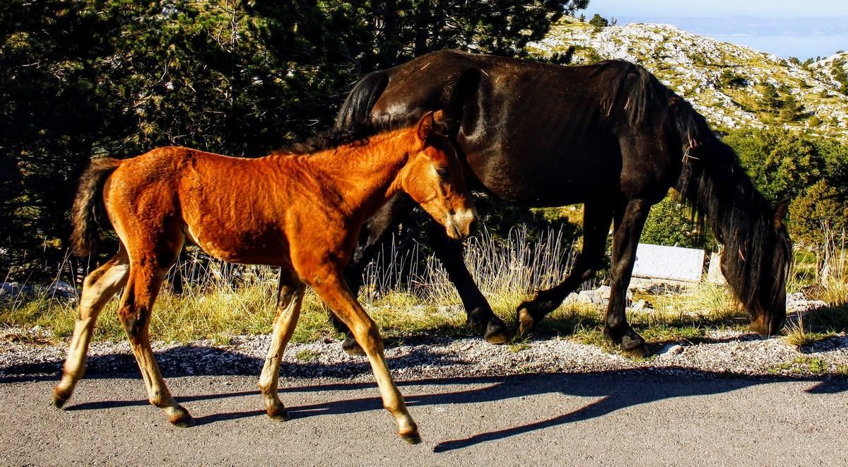 Žrebe in kobila. Simpatično.