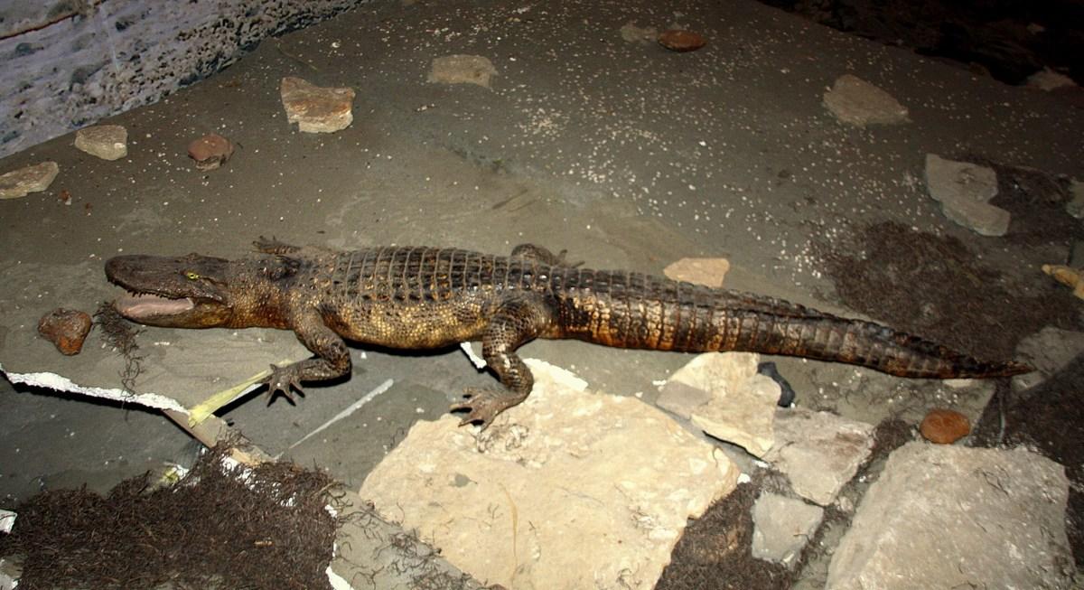 Krokodil na Pagu