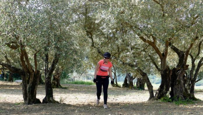 Ob poti so nas gledale stoletne oljke