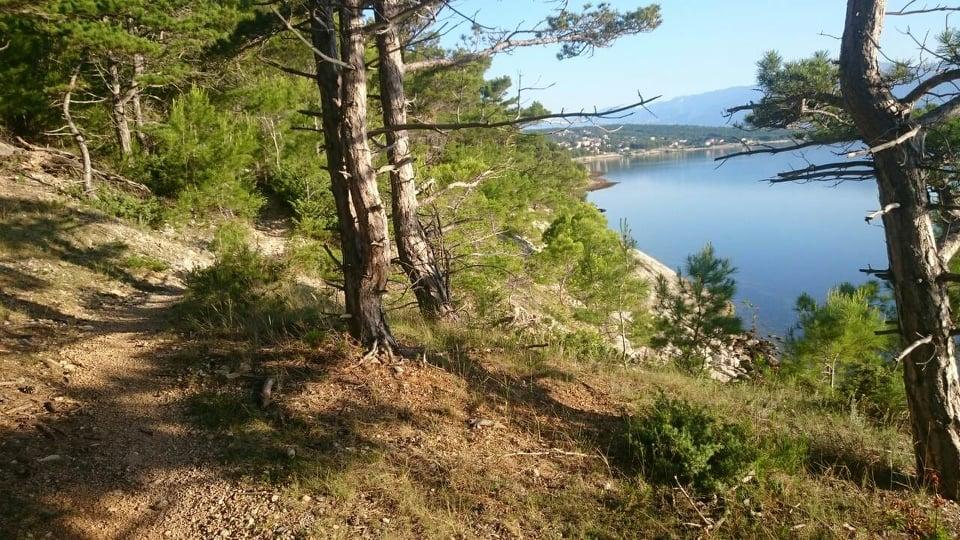 Sprehajalna pot med borovci