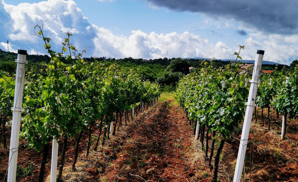 Vinogradi v bližini