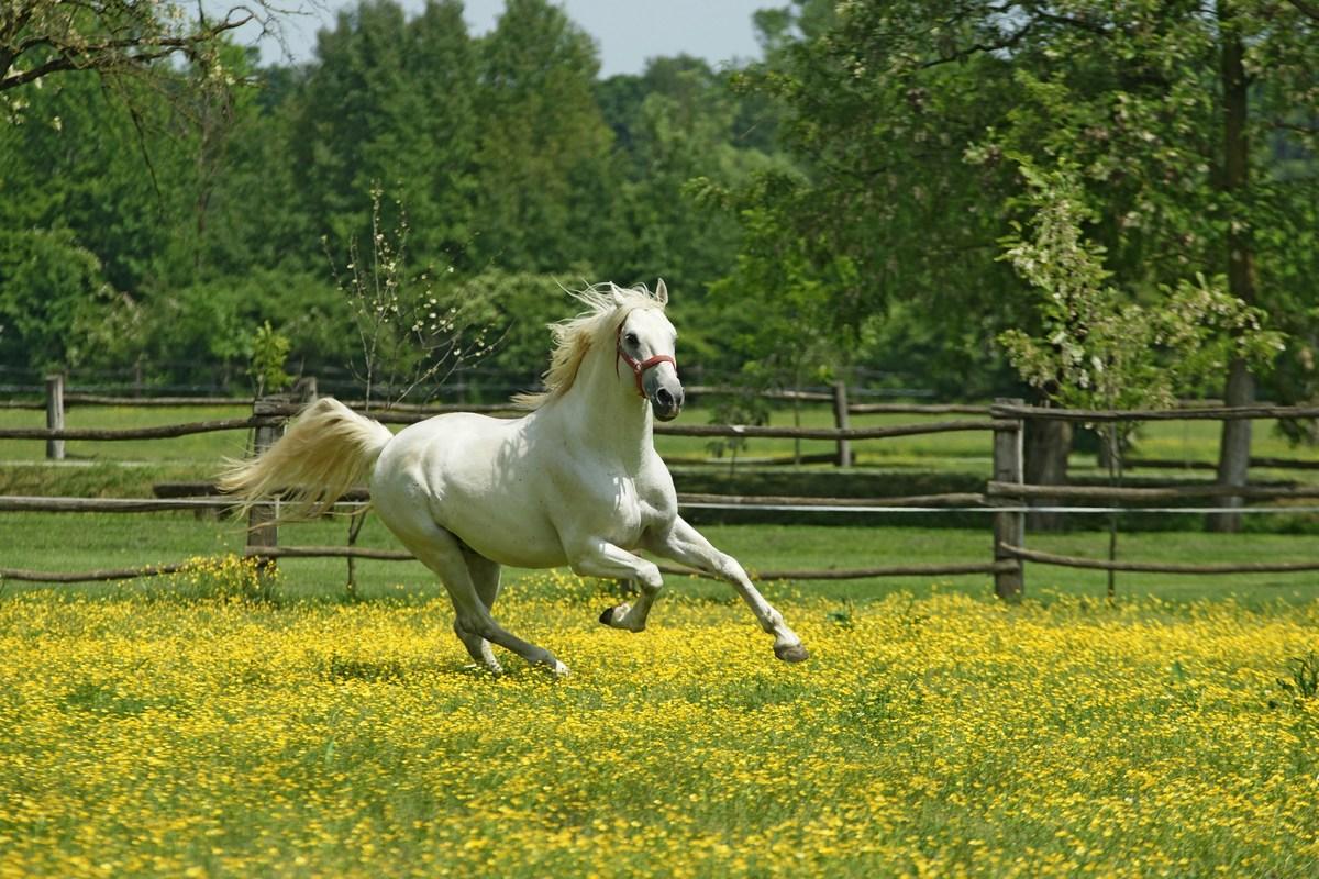 Konj med rožami