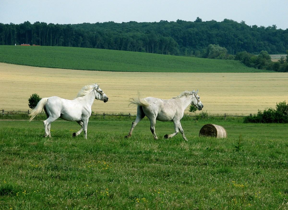 Slavonija in konji