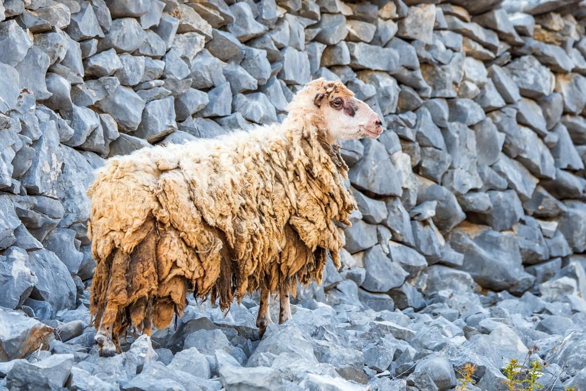 Ovca in kamen