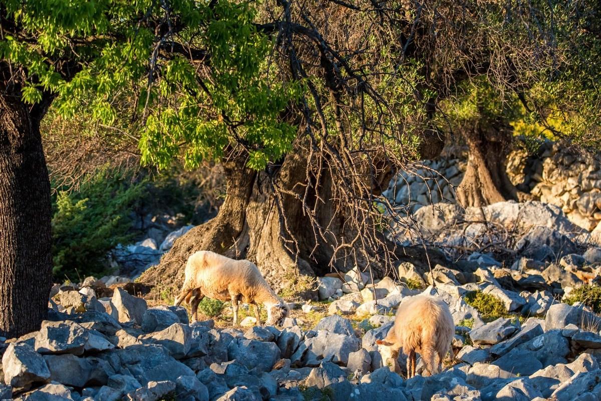 Ovce in lunjske oljke