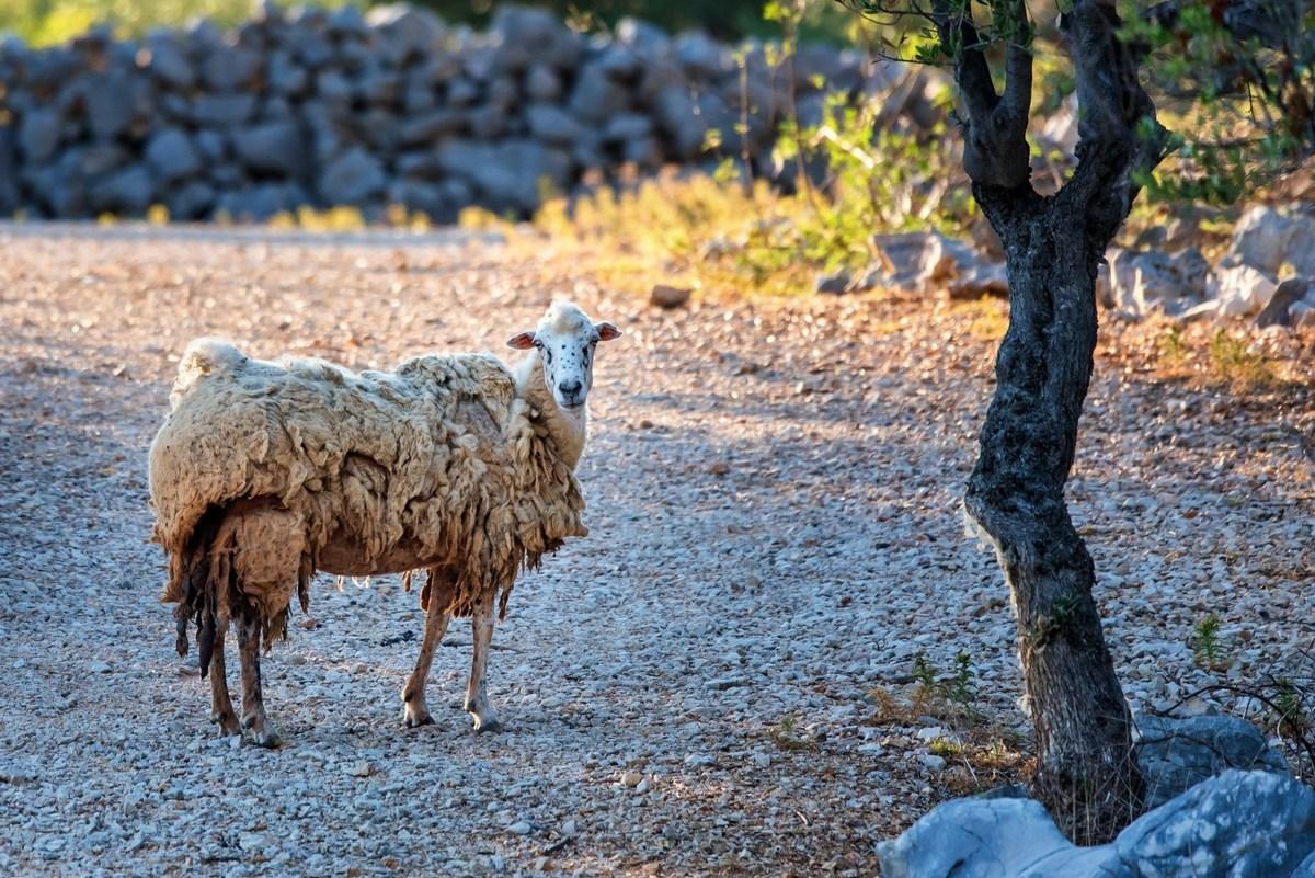 Pag, ovca