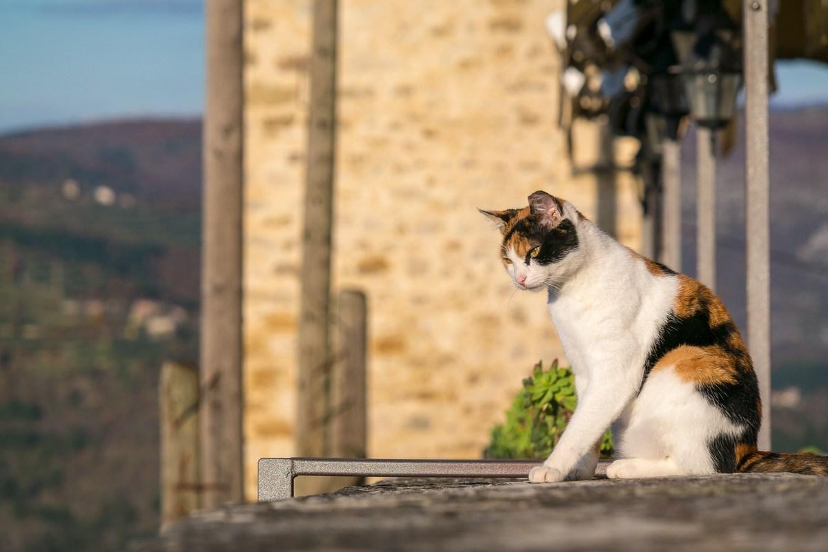 Motovunska mačka pozorno prati