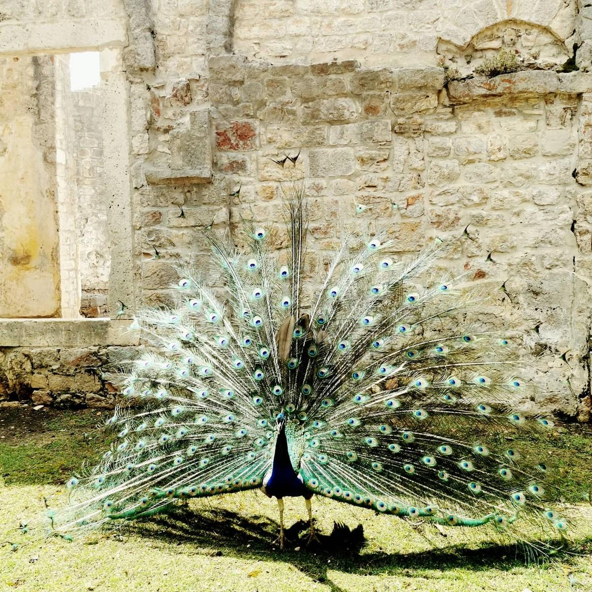 Pav širi krila, foto Stanka Seper