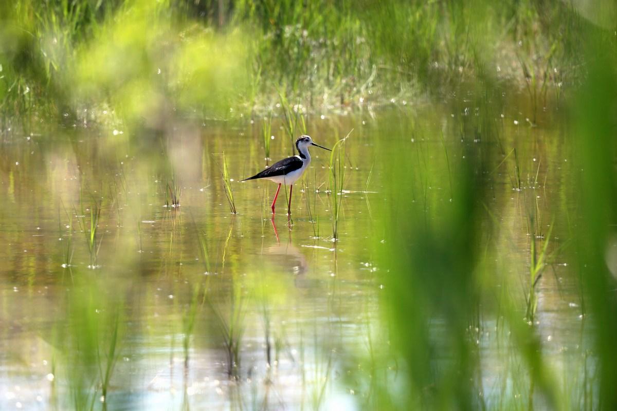 Ptič vlastelica, Himantopus himantopus, foto Iva Rogić