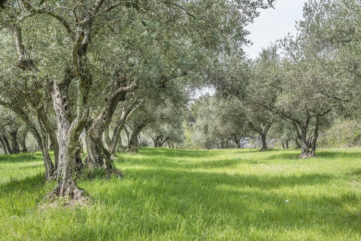 Oljčna drevesa