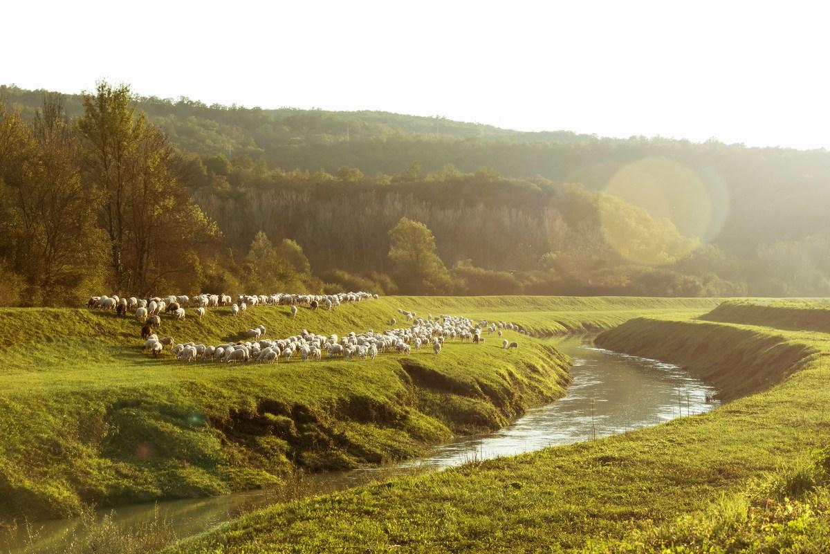 Ovce ob rečici