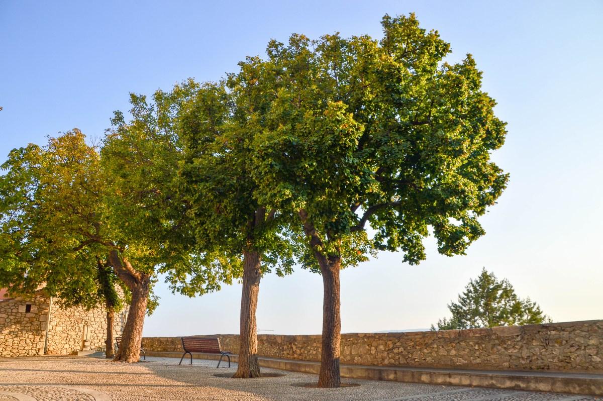 Trg, drevesa ob župnijski cerkvi